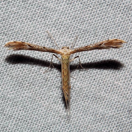 Belfrage's Plume Moth - Hodges#6154 - Pselnophorus belfragei