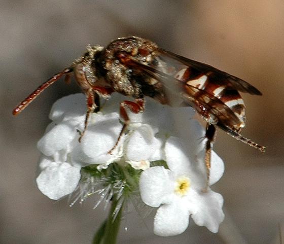Nomada - Nomada crotchii - female