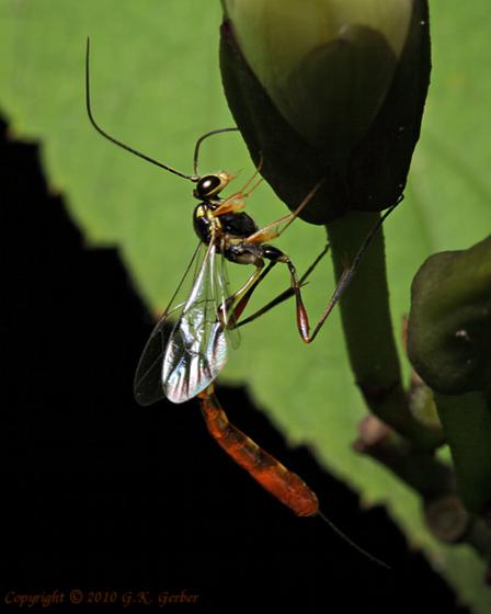 Parasitic Wasp ? - Eiphosoma - female
