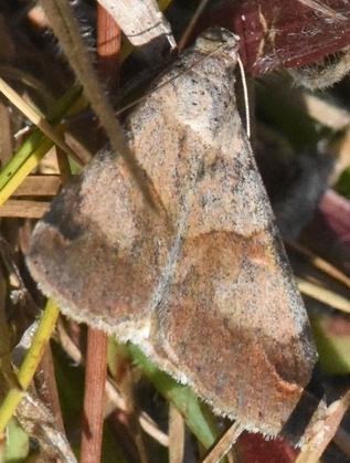 Graphic moth? - Melipotis florida