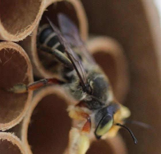 green eyed bee - Megachile policaris
