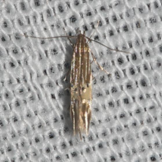 Cosmopterix scirpicola 1494?? - Cosmopterix floridanella