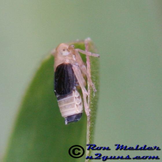 Planthopper - Syndelphax pseudoseminigra
