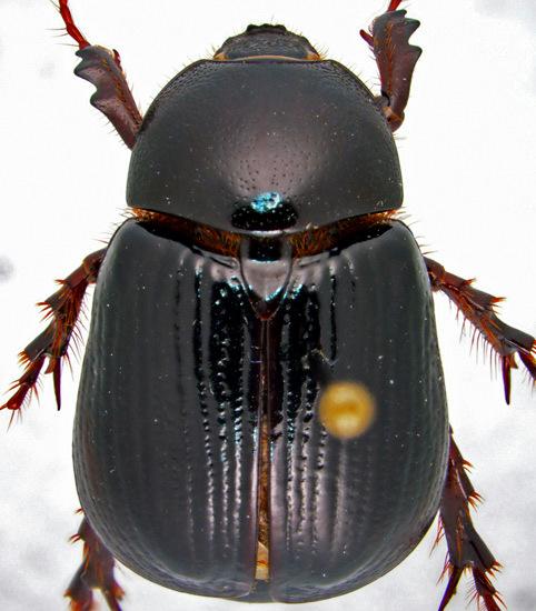 Aphonus densicauda Casey - Aphonus densicauda - male