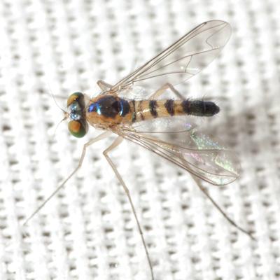 Long-legged Fly - Amblypsilopus dorsalis - male
