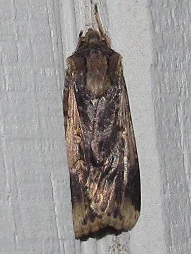 moth sp - Feltia subterranea
