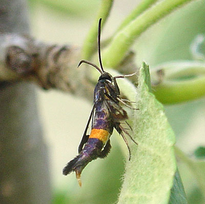 Apple clearwing moth - Synanthedon myopaeformis - female