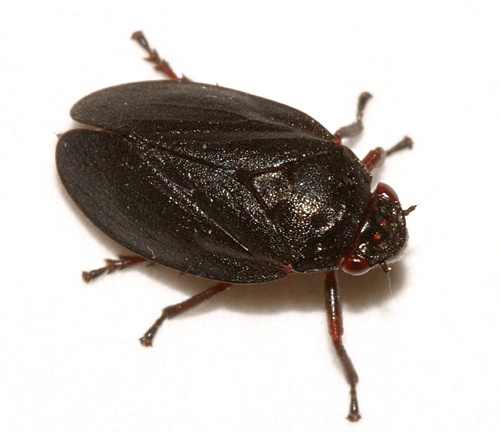 Spittle Bug - Prosapia ignipecta