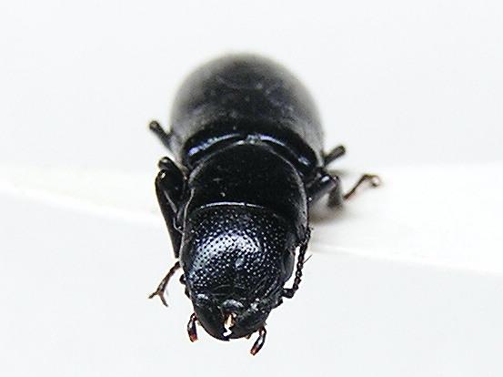 Ground Beetle Scarite? - Temnoscheila chlorodia