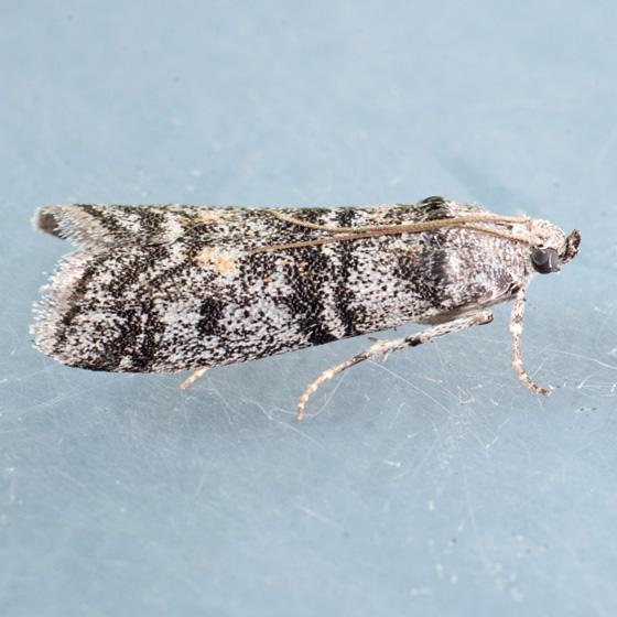 Moth for ID - Laetilia zamacrella