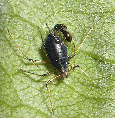 Aphid wasp being born
