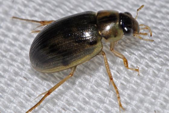 unknown beetle - Berosus