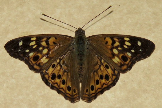 Hackberry Emperor - Hodges#4557 - Asterocampa celtis - male