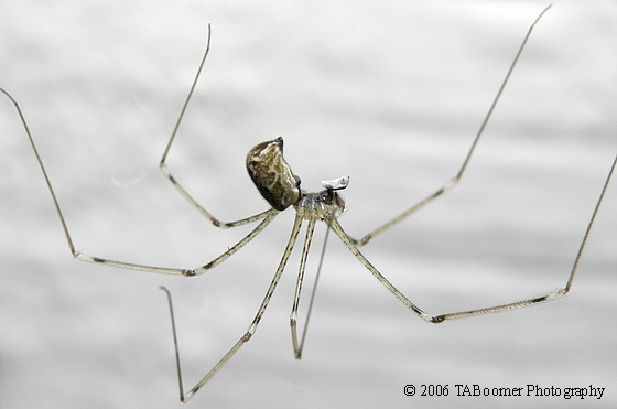 Daddy Long Legs with Prey - Holocnemus pluchei
