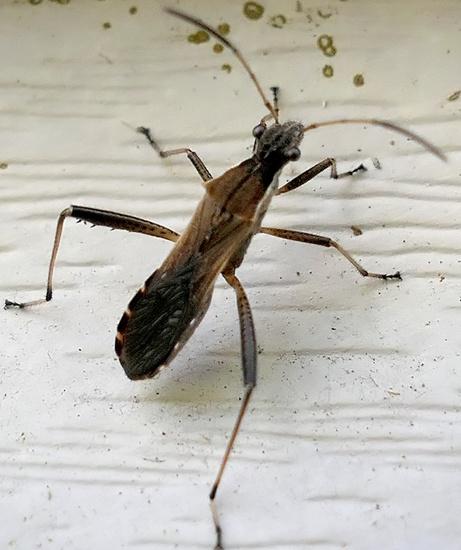 bug - Alydus pilosulus