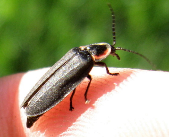 Lampyridae? 01 - Ellychnia
