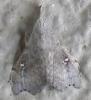 White-spotted Redectis Moth - Redectis vitrea