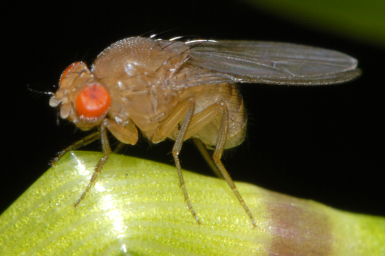 unknown fly - Drosophila