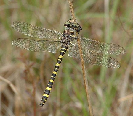 Say's Spiketail - Cordulegaster sayi - male
