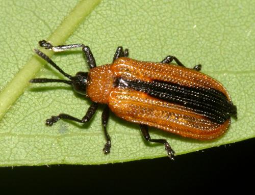 Locust Leaf Miner - Odontota dorsalis
