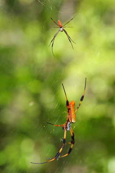 Golden Silk Orbweaver - Trichonephila clavipes - male - female