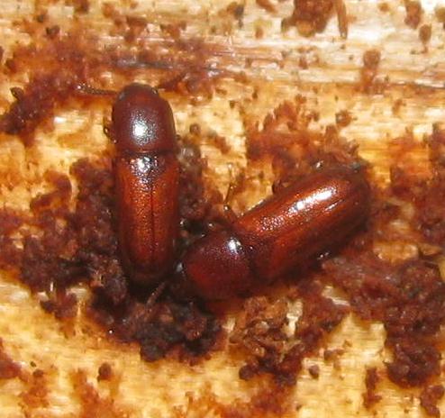 Darkling beetles - Corticeus