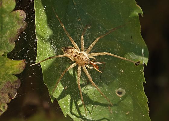 Large spider eating wasp - Tinus peregrinus