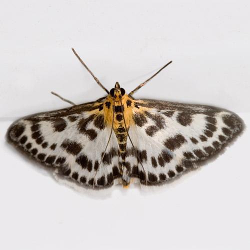 Hodges # 4952 Small Magpie Moth - Anania hortulata