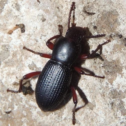 What Species? - Argoporis
