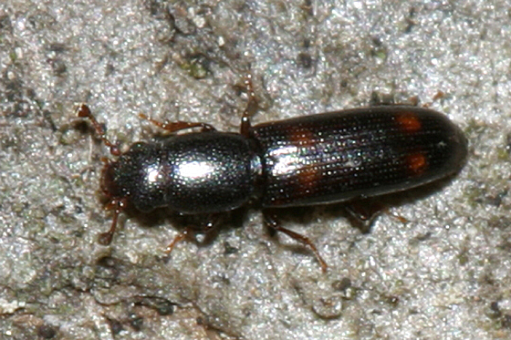 small Bark Beetle? - Rhizophagus sayi