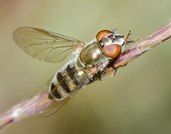 Syrphidae - Platycheirus - female