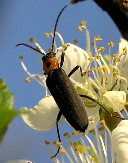 False Blister Beetle - Asclera puncticollis