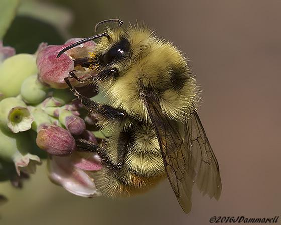 Bombus on Snowberry - Bombus centralis - male