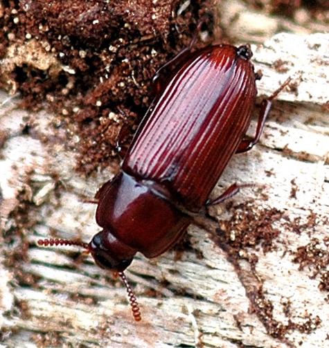 beetle - unident - Uloma mentalis