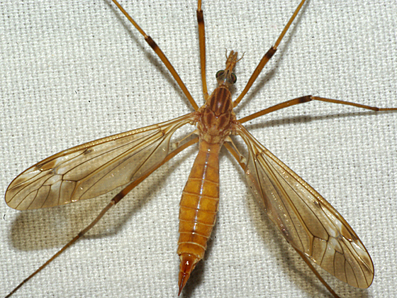 Crane Fly - Tipula - female