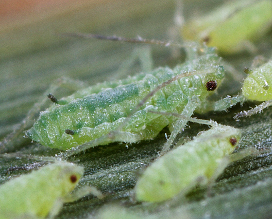 Aphid ID - Hyalopterus