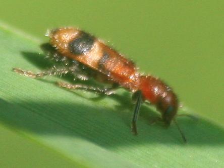 Small red-headed beetle - Enoclerus rosmarus
