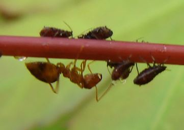 Aphids on Japanese Maple - Periphyllus