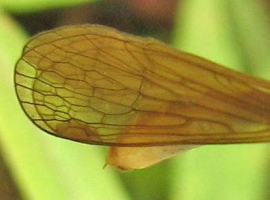 Hangfly - Bittacus stigmaterus