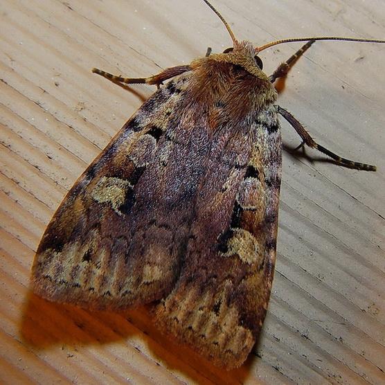 Unknown moth - Diarsia jucunda