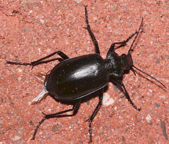 Darkling Beetle - Calosoma peregrinator