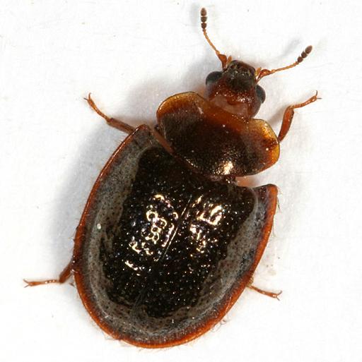 Bark-gnawing Beetle - Thymalus marginicollis