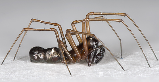 Platform Spider - Microlinyphia mandibulata - male