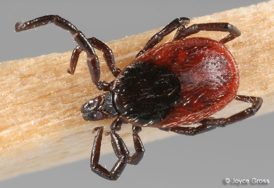 Western Black Legged Tick - Ixodes pacificus - female
