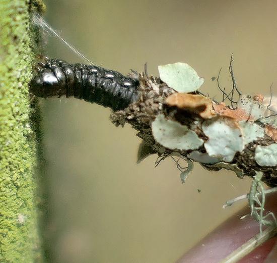 lichen-covered case