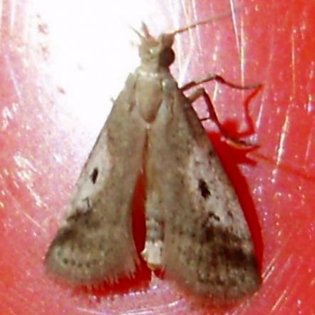 Unknown Moth sp. - Alpheias oculiferalis