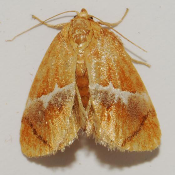 Yellow-shouldered Slug Moth - Hodges#4665 - Lithacodes fasciola