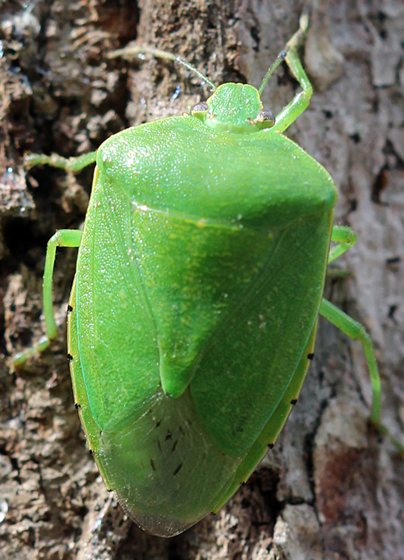 Green Insect - Chinavia