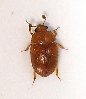 Beetles inside a puff ball fungus - Pocadius helvolus