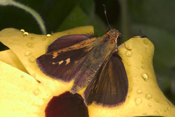Three-Spotted Skipper - Cymaenes tripunctus - female